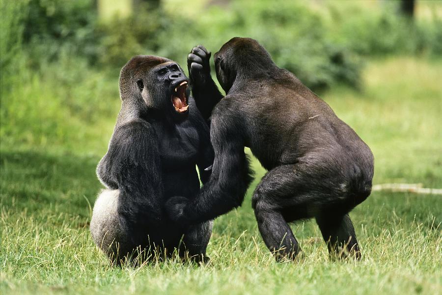 Gorilla fighting