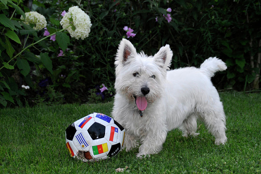 Westie World Cup Photograph