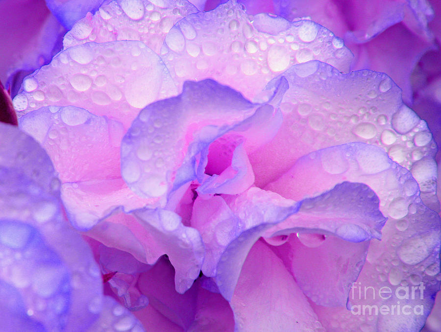 Wet Rose In Pink And Violet Photograph By Nareeta Martin