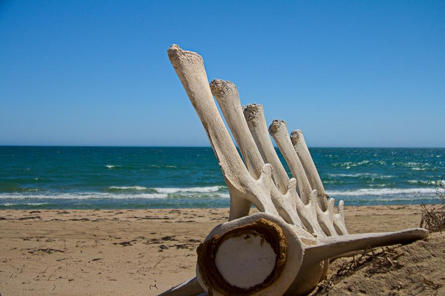 Whale skeleton on beach - photo#13