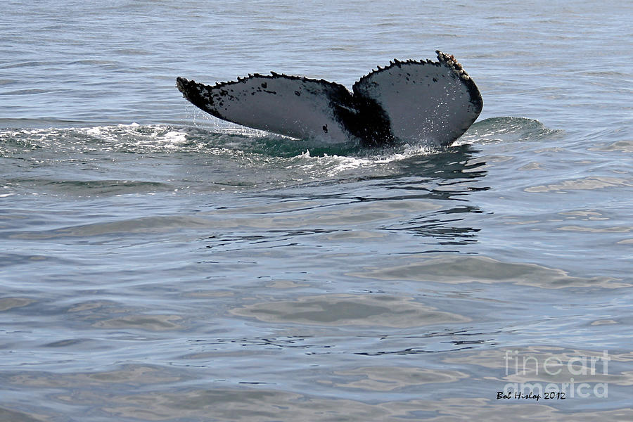 Whale Tail Photograph  - Whale Tail Fine Art Print