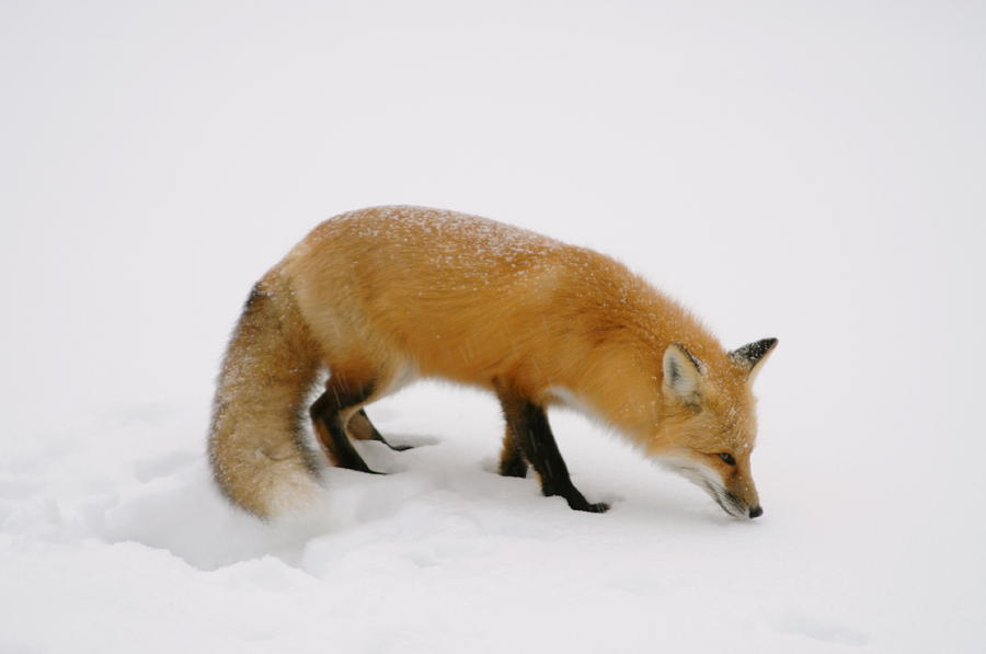 Red Fox   Hunting In The Snow Photograph - What Was That by Sandra Updyke