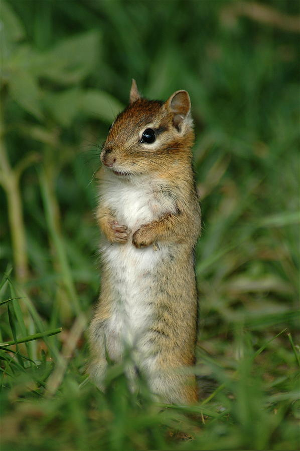 Curious Chipmunk Photograph - Whats Up by Sandra Updyke