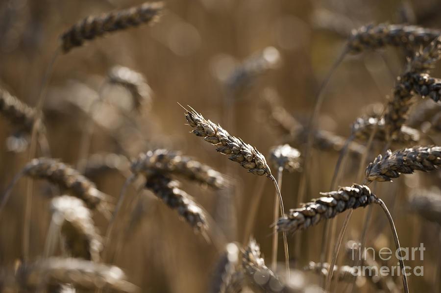 Wheat Photograph