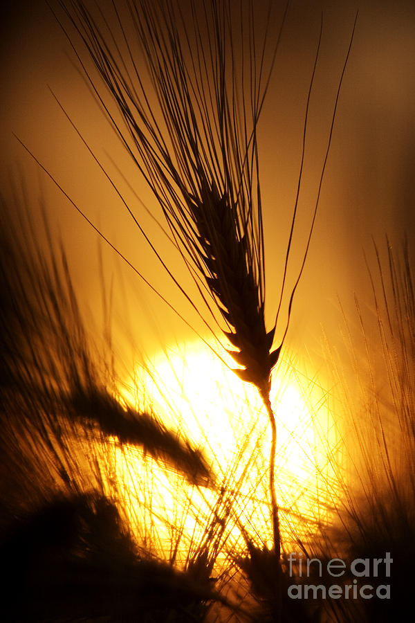 Wheat At Sunset Silhouette Photograph
