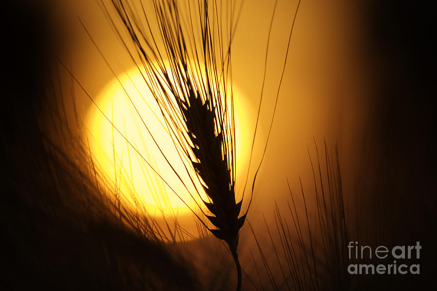 Wheat At Sunset  Photograph