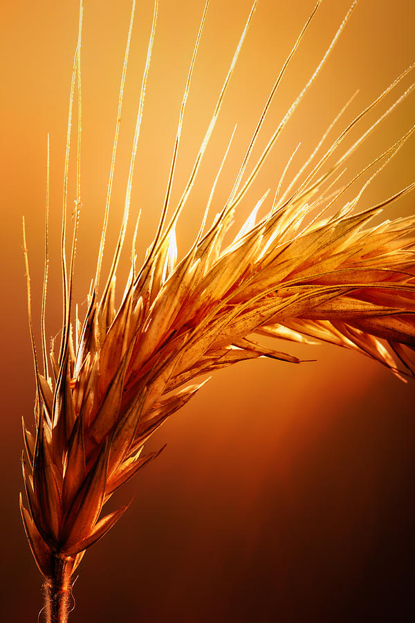 Wheat Photograph - Wheat Close-up by Johan Swanepoel