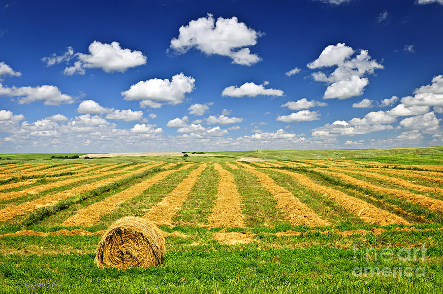 Wheat Farm Field And Hay Bales At Harvest In Saskatchewan Photograph  - Wheat Farm Field And Hay Bales At Harvest In Saskatchewan Fine Art Print