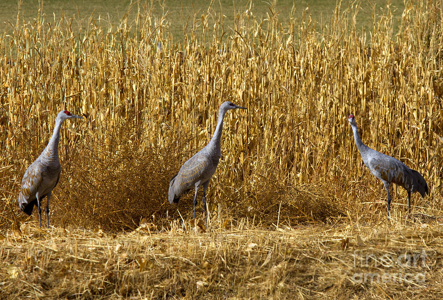 Sandhill Cranes Photograph - Where Is The Corn by Mike  Dawson