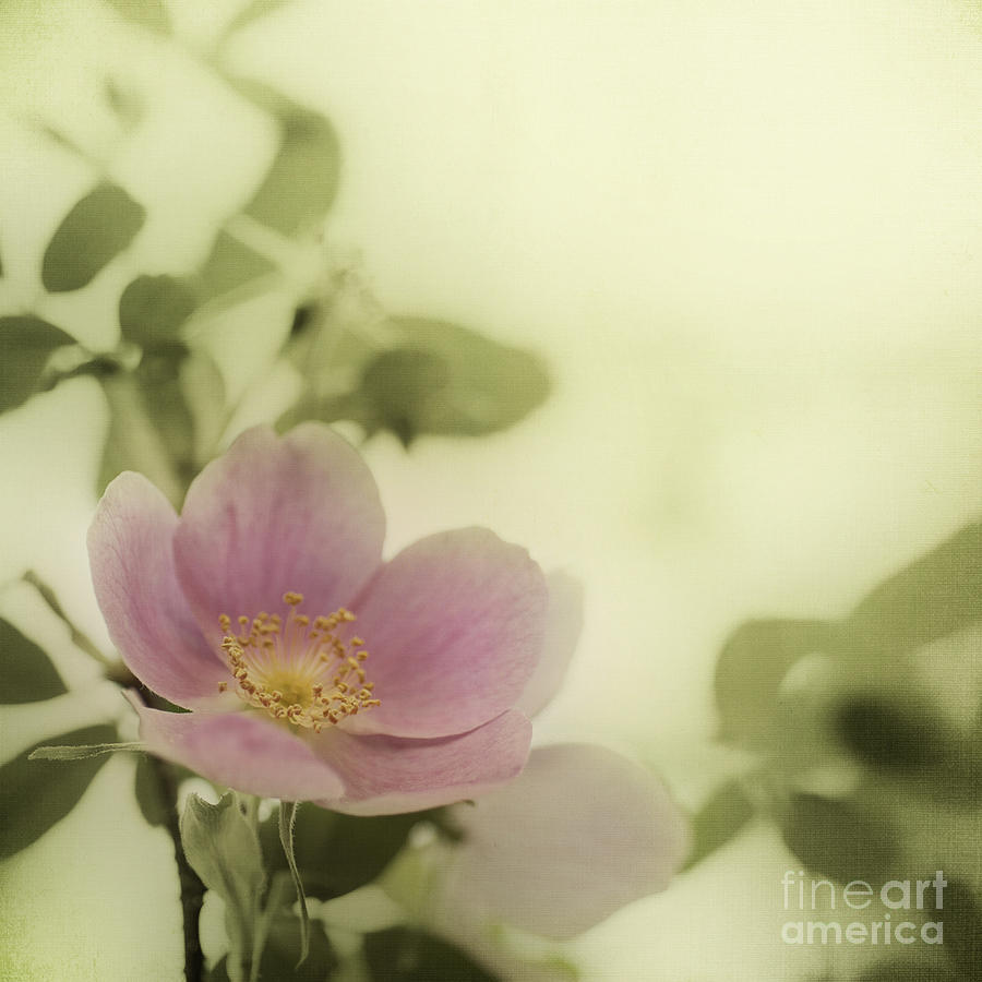 Where The Wild Roses Grow Photograph