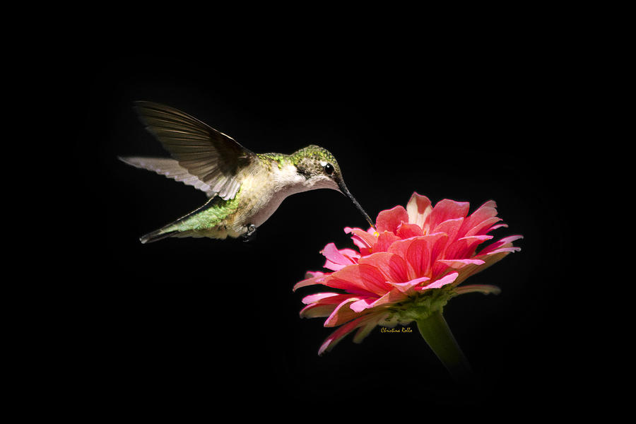 Whispering Hummingbird Photograph  - Whispering Hummingbird Fine Art Print