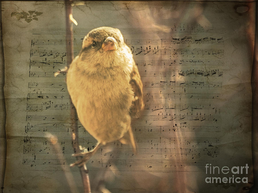 Sparrow Photograph - Whistling Song Sparrow by Janice Rae Pariza