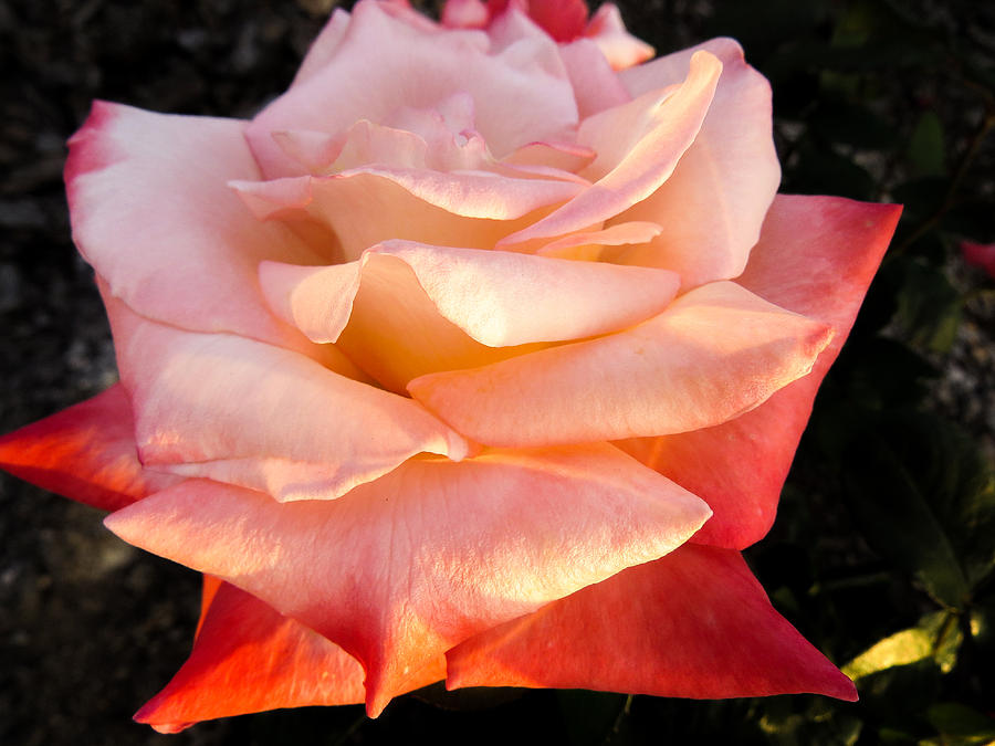 Rose Photograph - White And Peach by Zina Stromberg
