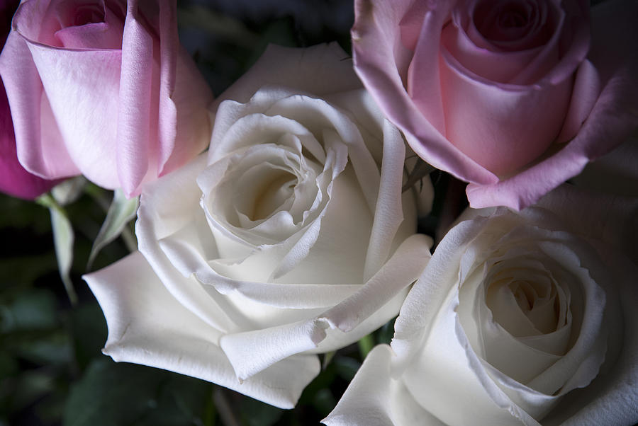 White And Pink Roses Photograph
