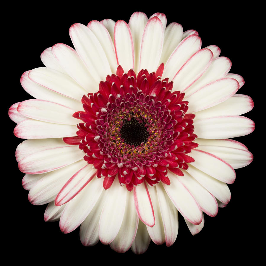 3scape Photos Photograph - White And Red Gerbera Daisy by Adam Romanowicz