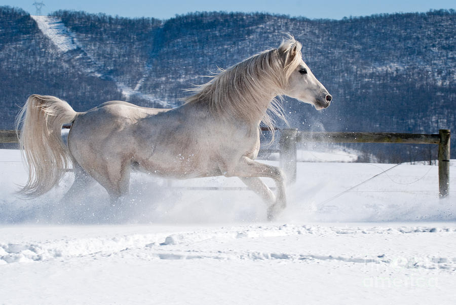 White Arabian Horse Running In Powder Snow Photograph by ...