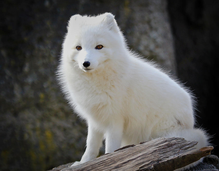 White Arctic Fox Photograph  White Pet Fox
