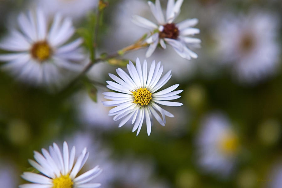 White Aster Photograph  - White Aster Fine Art Print