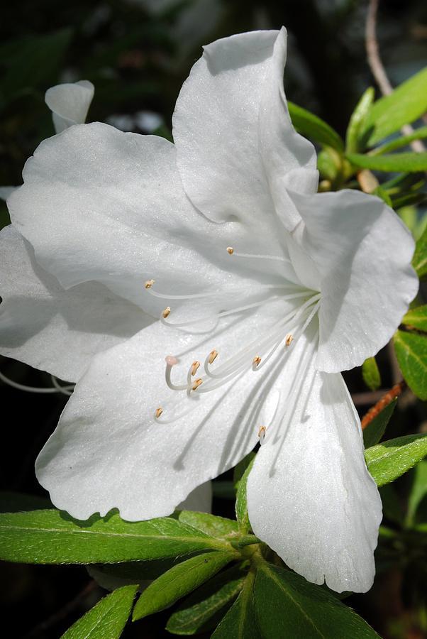 White Azalea Photograph