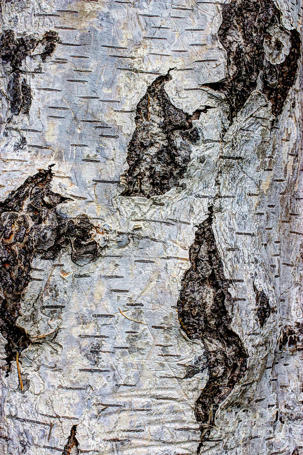 White Birch Abstract  Photograph