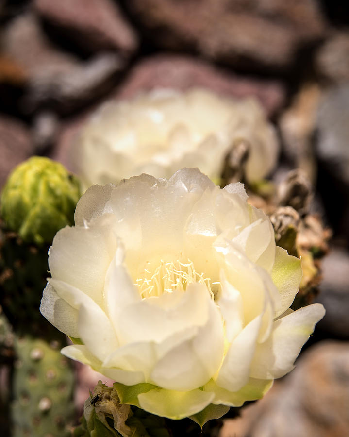 White Cactus Rose Photograph  - White Cactus Rose Fine Art Print