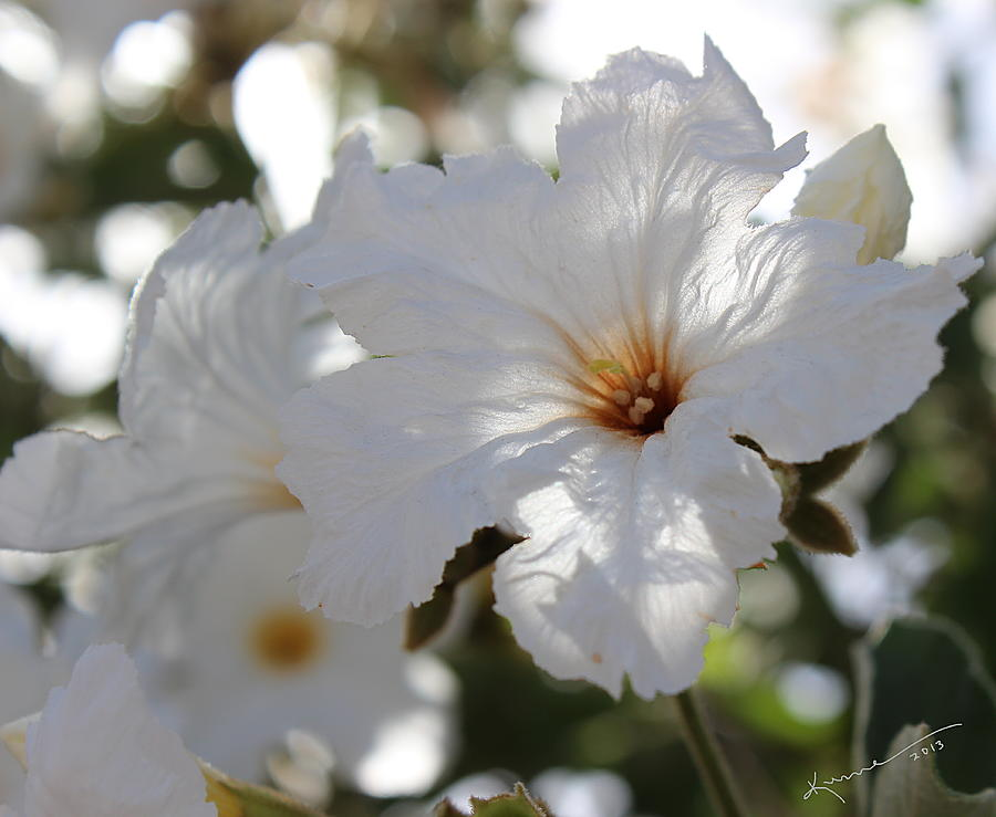 White Cordia Photograph