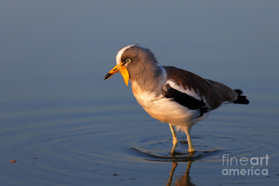 White-crowned Lapwing In Water Photograph