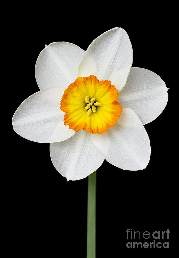 White Daffodil Photograph