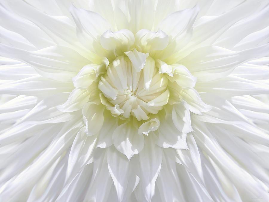 White Dahlia Floral Delight Photograph