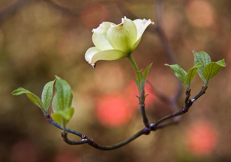 White Dogwood In Early Spring Photograph  - White Dogwood In Early Spring Fine Art Print