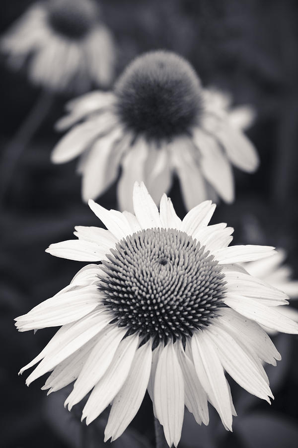 White Echinacea Flower Or Coneflower Photograph