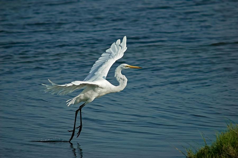 White Egret Landing Digital Art