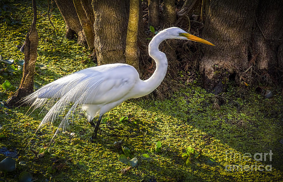 White Egret Photograph - White Egret On The Hunt by Marvin Spates