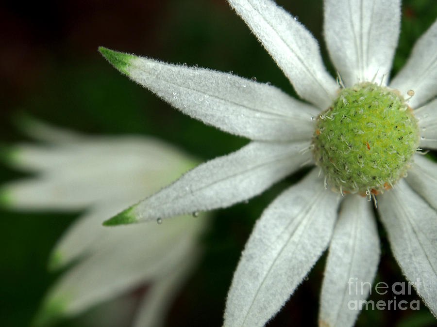 White Flannel Flowers Photograph