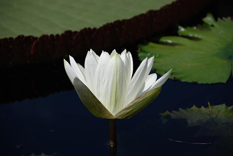 White Flower Growing Out Of Lily Pond Photograph