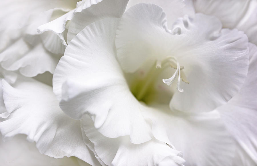 White Gladiola Flower Brilliance Photograph  - White Gladiola Flower Brilliance Fine Art Print