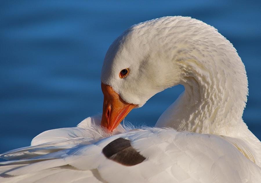 White Goose Portrait Photograph  - White Goose Portrait Fine Art Print