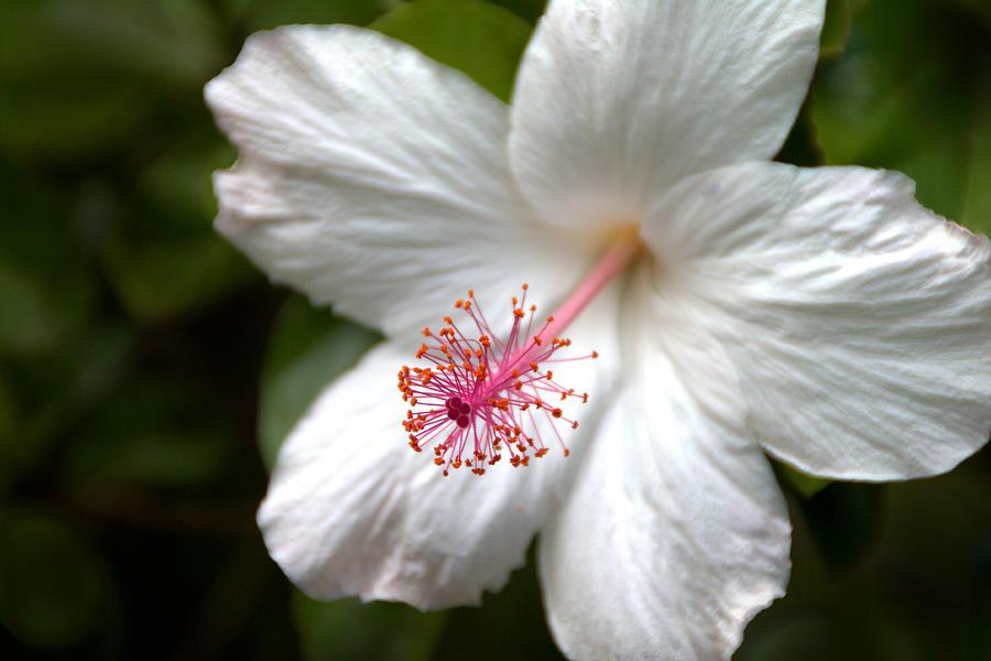 White Hibiscus Photograph