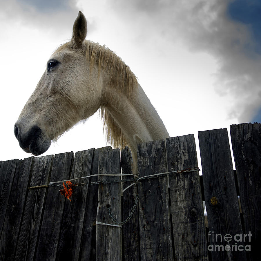 Animals Photograph - White Horse by Bernard Jaubert