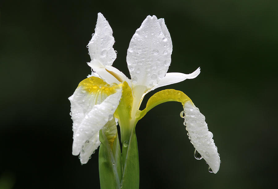 White Iris Photograph by Juergen Roth