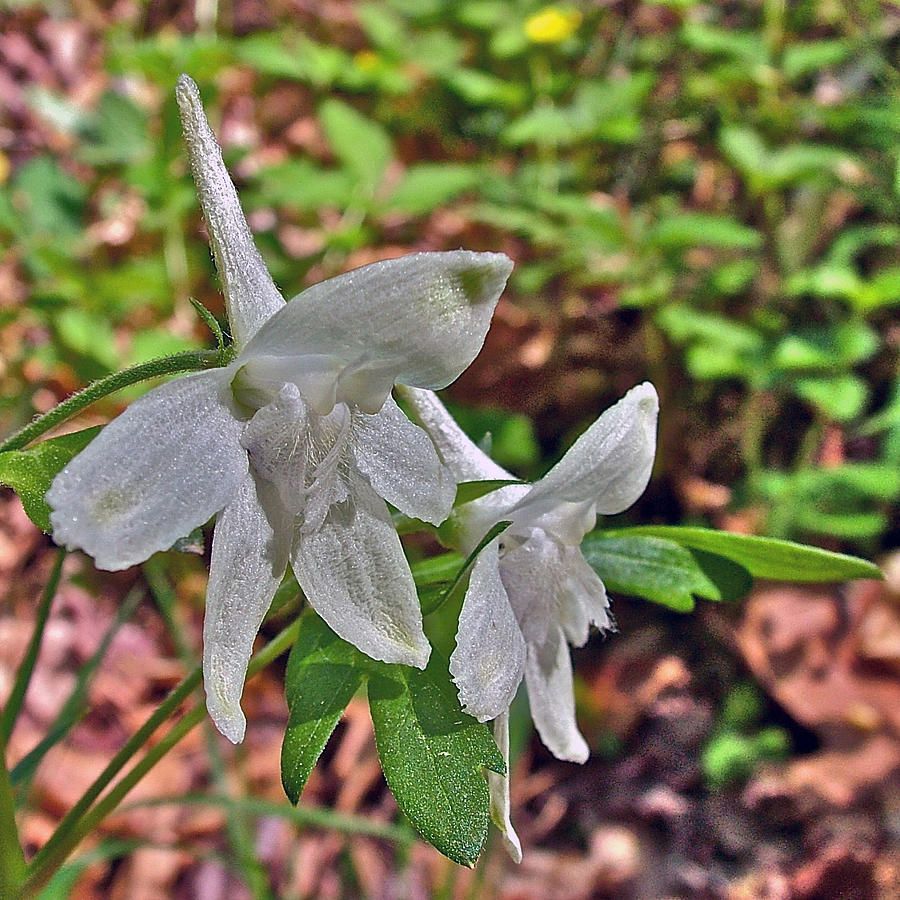 White Larkspur On Rock Spring Trail Near Natchez Trace Parkway-alabama Photograph