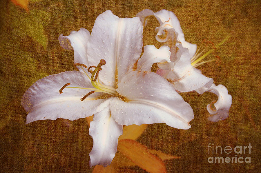 White Lilies. Time To Be Romantic Photograph