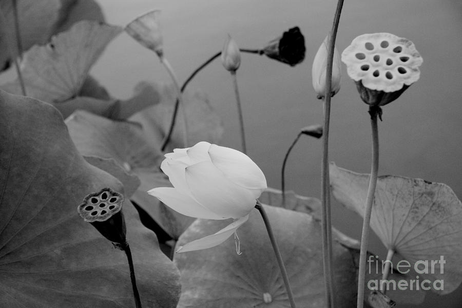 Nature Photograph - White Lotus Flowers In Balboa Park San Diego by Julia Hiebaum