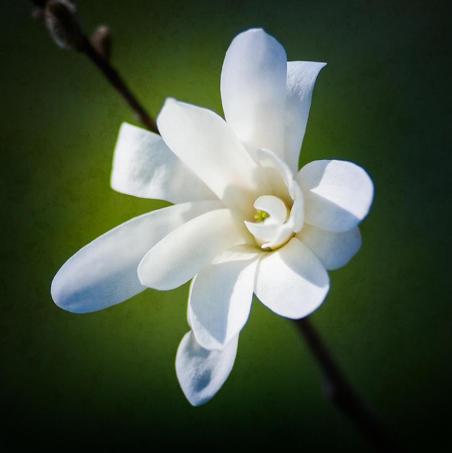 White Magnolia Flower Photograph by Alexander Senin
