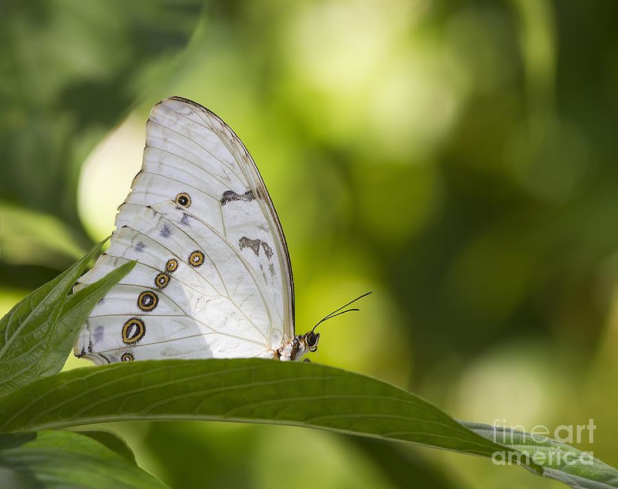 White Morpho   Photograph
