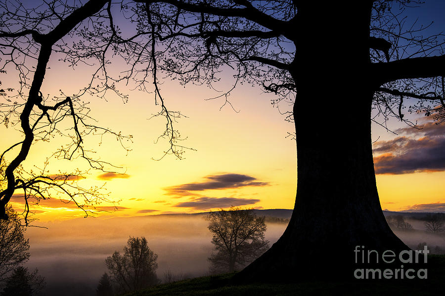 White Oak At Sunrise Photograph