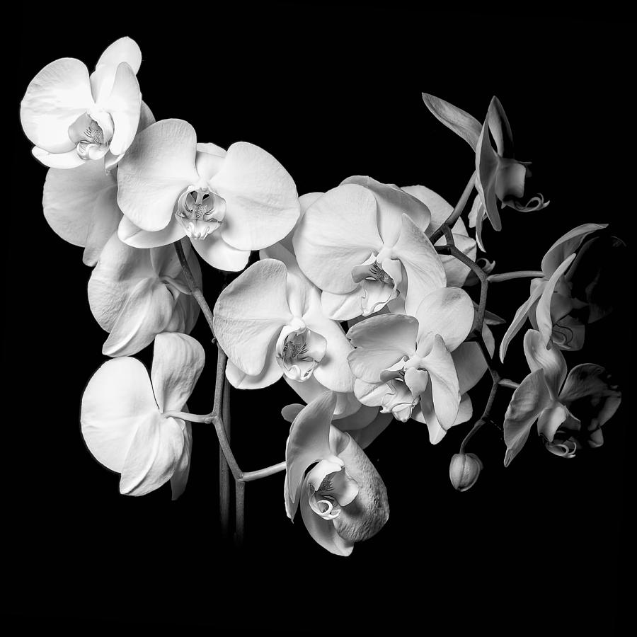 White Orchid - Black And White Photograph
