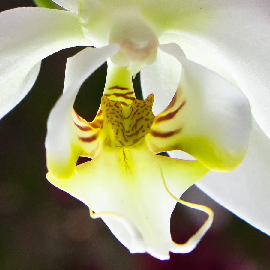 Flower Photograph - White Orchid Close 2 by Timothy Blair