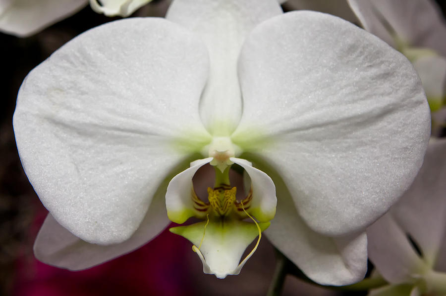 White Orchid Close Photograph  - White Orchid Close Fine Art Print