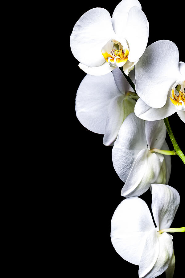 White Orchid II Photograph